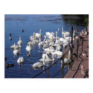 Roath park湖カーディフの白鳥そして他の鳥 ポストカード