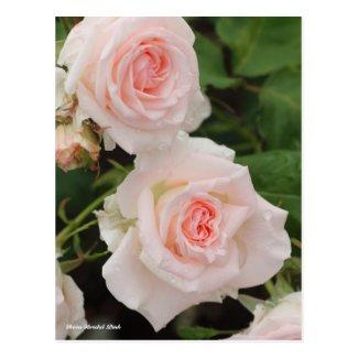 Rosa Bridal Pink ポストカード