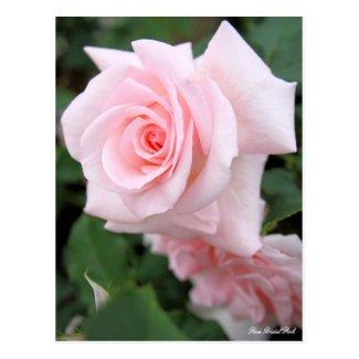 Rosa Bridal Pink:Postcard ポストカード