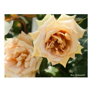 Rosa Butterscotch Postcard