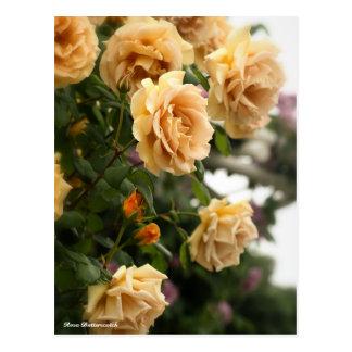 Rosa Butterscotch ポストカード