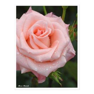 Rosa Cherish:Postcard