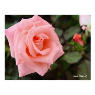 Rosa Cherish [Postcard] ポストカード