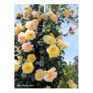 Rosa Climbing Peace:Postcard ポストカード