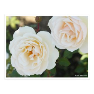 Rosa Edelweiss Postcard