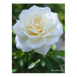 Rosa Fabulous! [Postcard] ポストカード