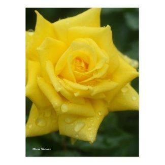 Rosa Friesia ポストカード