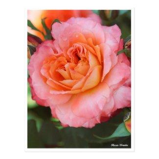 Rosa Fruite Postcard