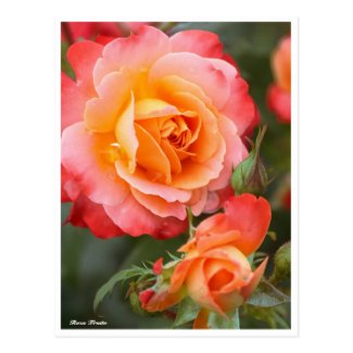 Rosa Fruite:Postcard