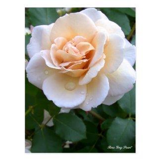 Rosa Grey Pearl [Postcard] ポストカード