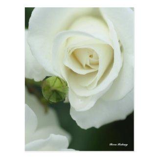 Rosa Iceberg Postcard
