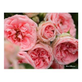 Rosa'Kimono' ポストカード