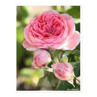 Rosa'Kimono' Postcard