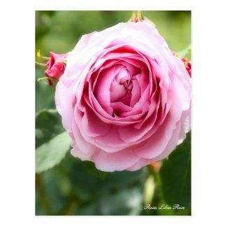 Rosa Lilac Rose:Postcard ポストカード