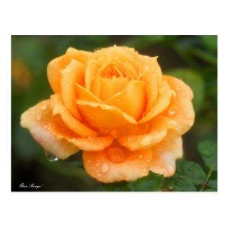 Rosa 'Manyo':Postcard ポストカード