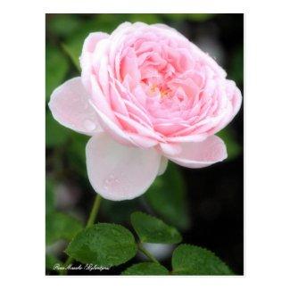 Rosa Masako (Eglantyne):Postcard ポストカード