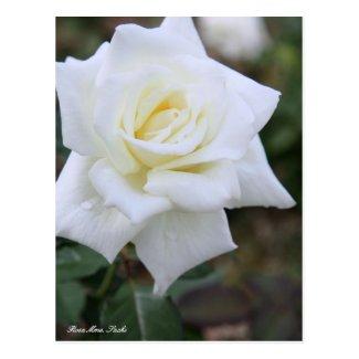 Rosa Mme. Sachi [Postcard] ポストカード