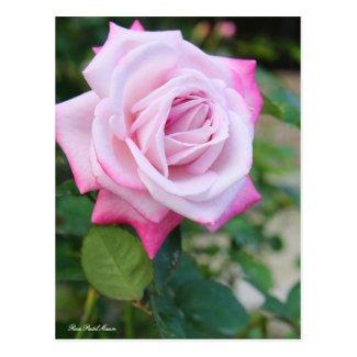 Rosa Pastel Mauve:Postcard ポストカード