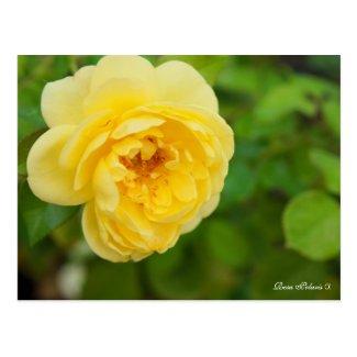 Rosa Polaris α [Postcard] ポストカード