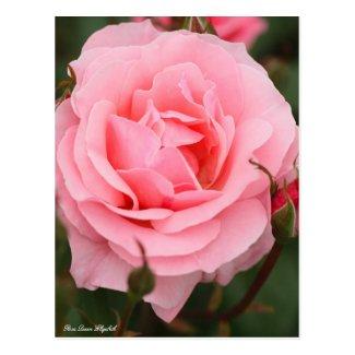 Rosa Queen Elizabeth:Postcard ポストカード