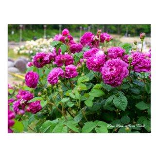 Rosa Rose-Marie Viaud [Postcard] ポストカード