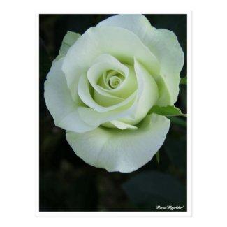 Rosa'Ryokko'(=Green light):Postcard