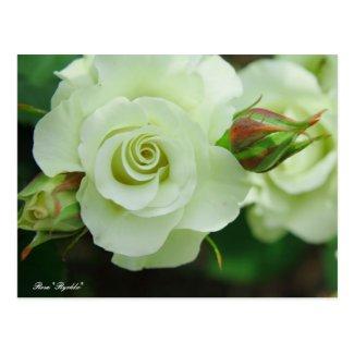 "Rosa ""Ryokko"":Postcard ポストカード"