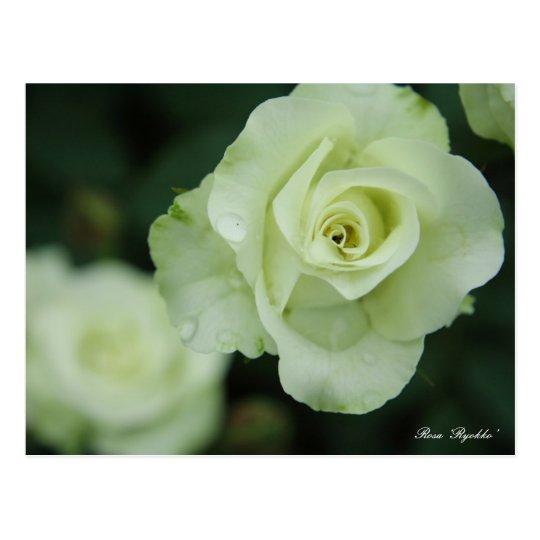 Rosa 'Ryokko' [Postcard] ポストカード