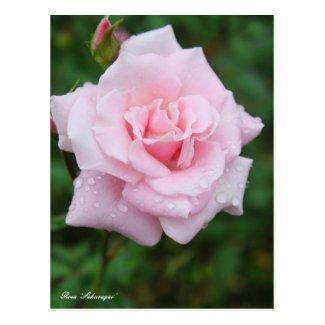 Rosa 'Sakuragai' [Postcard] ポストカード
