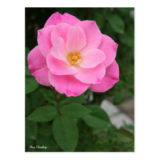 Rosa Simplicity:Postcard ポストカード