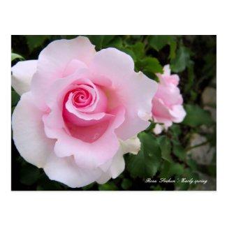 Rosa'Soshun':Postcard ポストカード