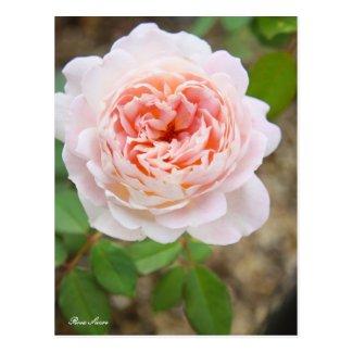 Rosa Sucre [Postcard] ポストカード
