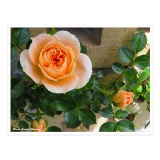 Rosa Sunset Memory ポストカード
