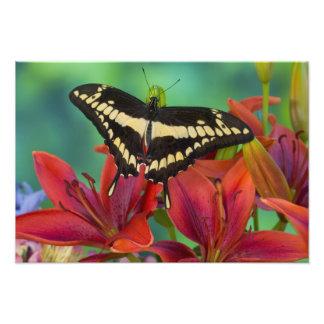 Sammamishのワシントン州の熱帯蝶30 フォトプリント