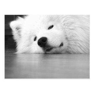 Samoyedの写真犬の白 ポストカード