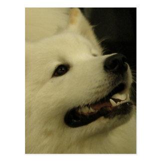 Samoyed犬の郵便はがき ポストカード