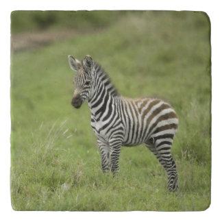 Serengetiの平野の若いシマウマ トリベット