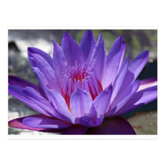 SGの紫色の熱帯《植物》スイレンの郵便はがき#7 2017年 ポストカード