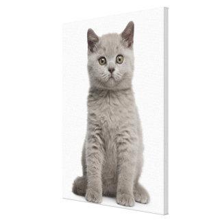 Shorthairのイギリスの子ネコ(10週古い) キャンバスプリント