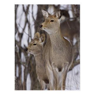 Sikaのシカの雌ジカおよび若いの北海道、日本 ポストカード