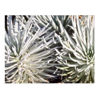 Silverswordの白い花、ハワイの花 ポストカード