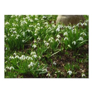 Snowdrops II (Galanthus)の白い春の花 フォトプリント