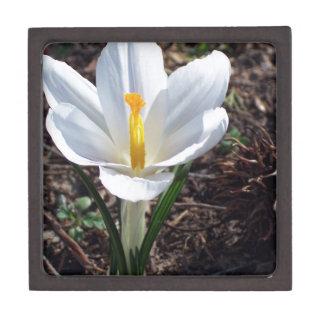 Snowy白のクロッカスの花 ギフトボックス