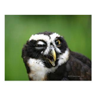 Spectacledフクロウ(Pulsatrixのperspicillata) ポストカード