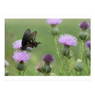 Spicebushのアゲハチョウの蝶- Papilioのtroilus ポストカード