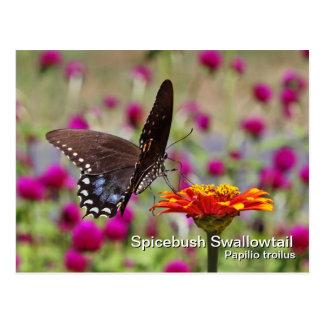 Spicebushのアゲハチョウの郵便はがき ポストカード