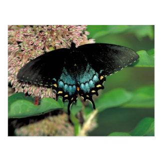 SpicebushのアゲハチョウのButtterflyの   公有地のmilkweed ポストカード