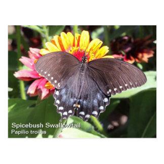 Spicebushのアゲハチョウ ポストカード