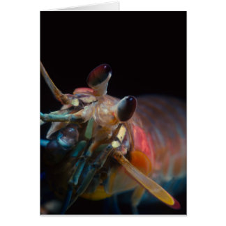 Stomatopod (シャコ目) カード
