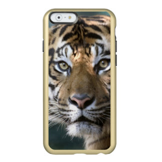 Sumatranのオスのトラ(ヒョウ属のチグリス川のsumatrae) Incipio Feather Shine iPhone 6ケース